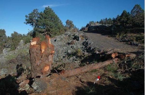 Obras del anillo insular afectando a las coladas del Chinyero y pinos canarios